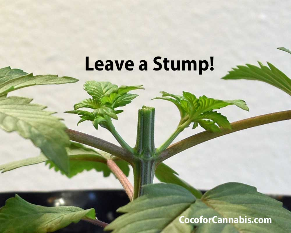 Cannabis-Mainline-Topping-Stump..--